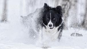 记录狗狗的精彩瞬间:雪中奔跑的爱犬